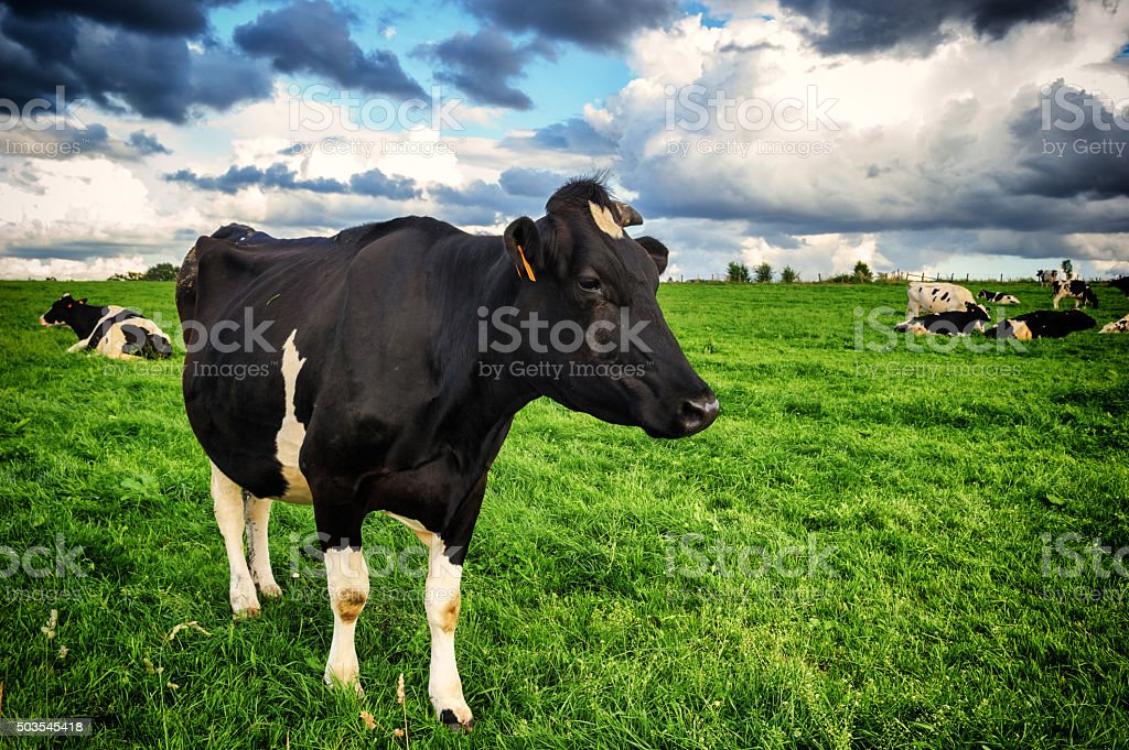 Black cow at green field stock photo