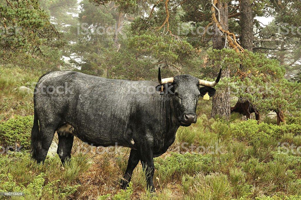 Vaca avileña negro - foto de stock