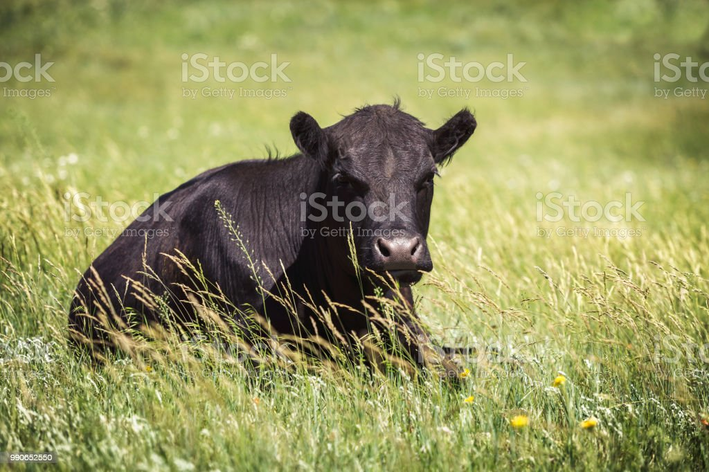 Black cow lying in pasture grass. stock photo