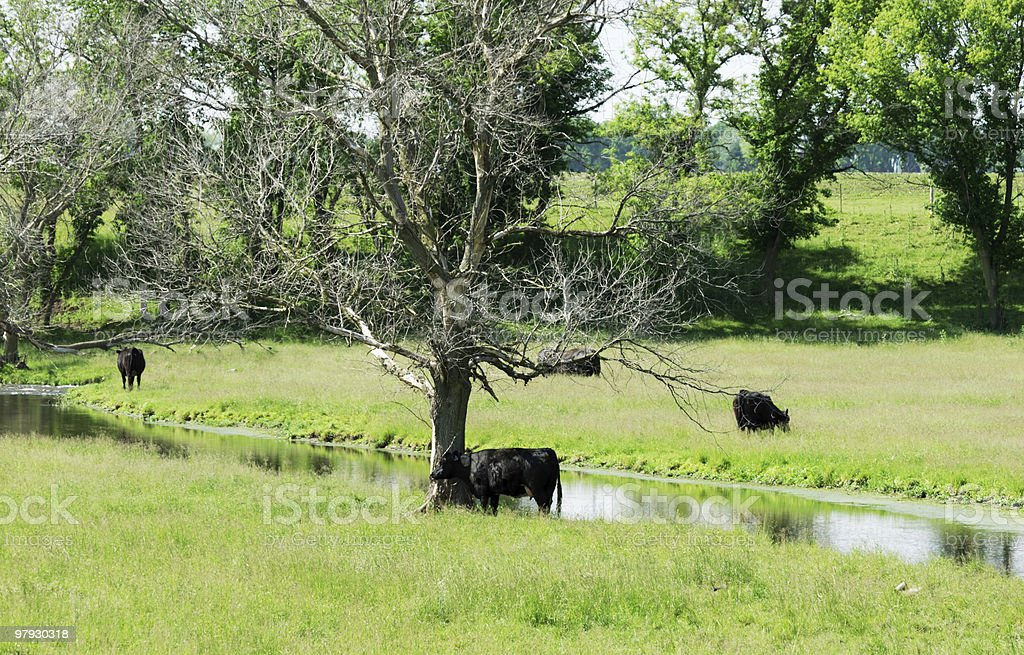 Black Cows by Creek royalty-free stock photo
