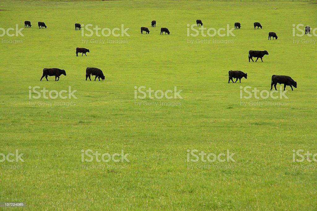 Black cows grazing in green pasture stock photo