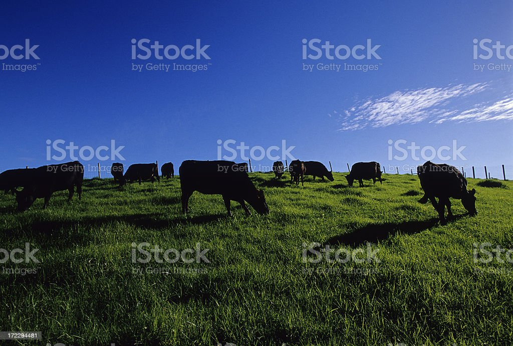 Black Cows In Green Field stock photo