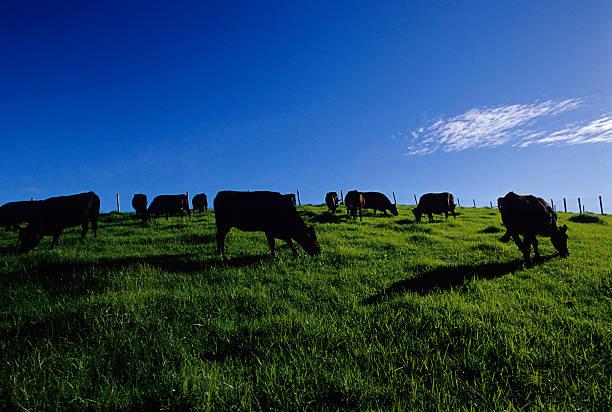 Black Kühe auf grünen Feld – Foto