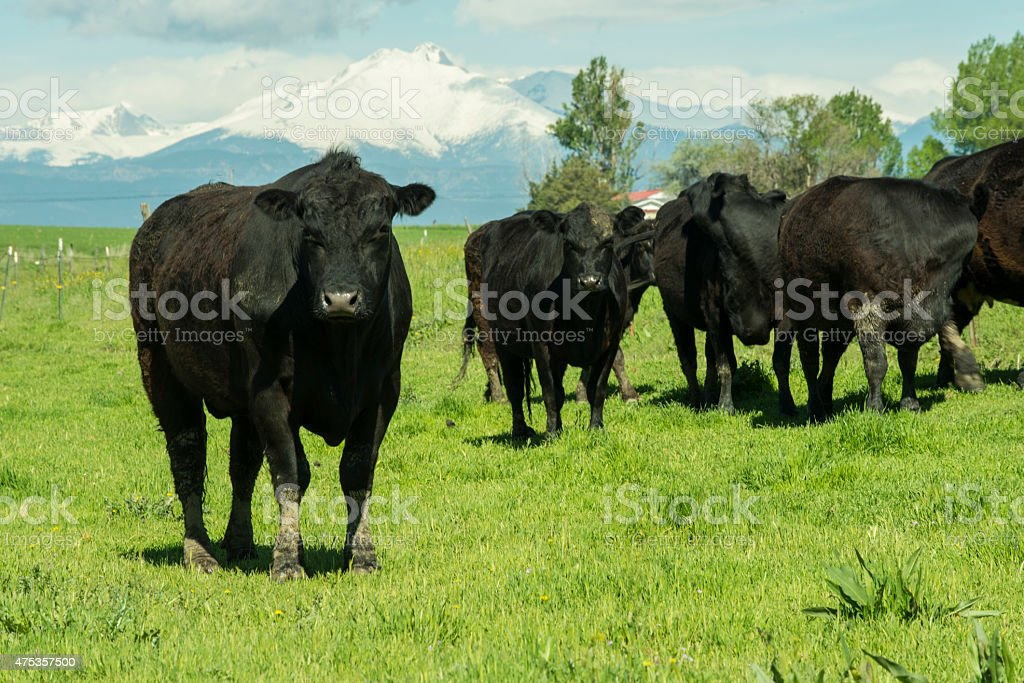 Black Cows stock photo
