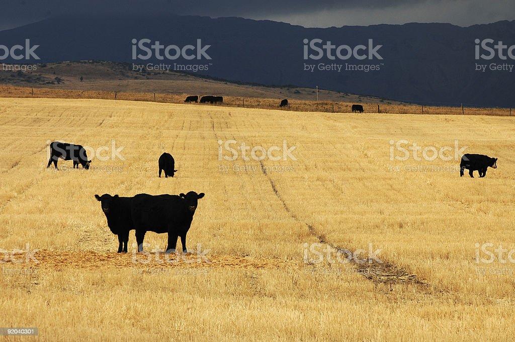 Black Cows royalty-free stock photo