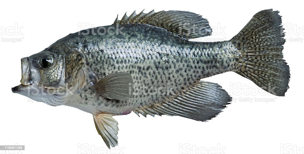 Black crappie isolated on white stock photo