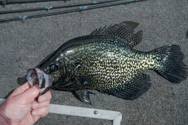black sonnenbarsch - crappie angeln stock-fotos und bilder