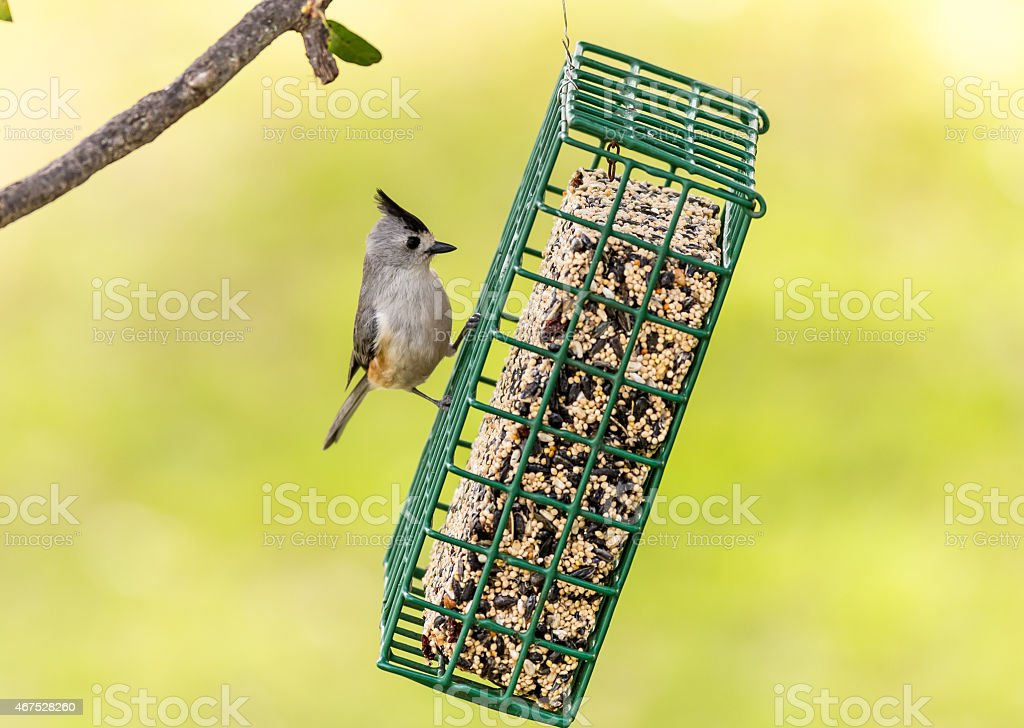 Black Crested Titmouse on Feeder stock photo