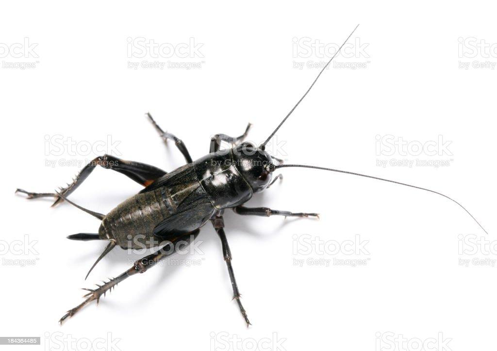 black cricket stock photo