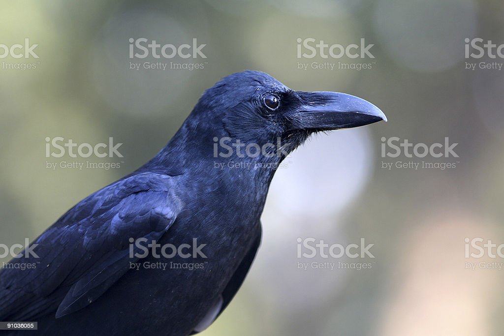Black crow bird in India stock photo