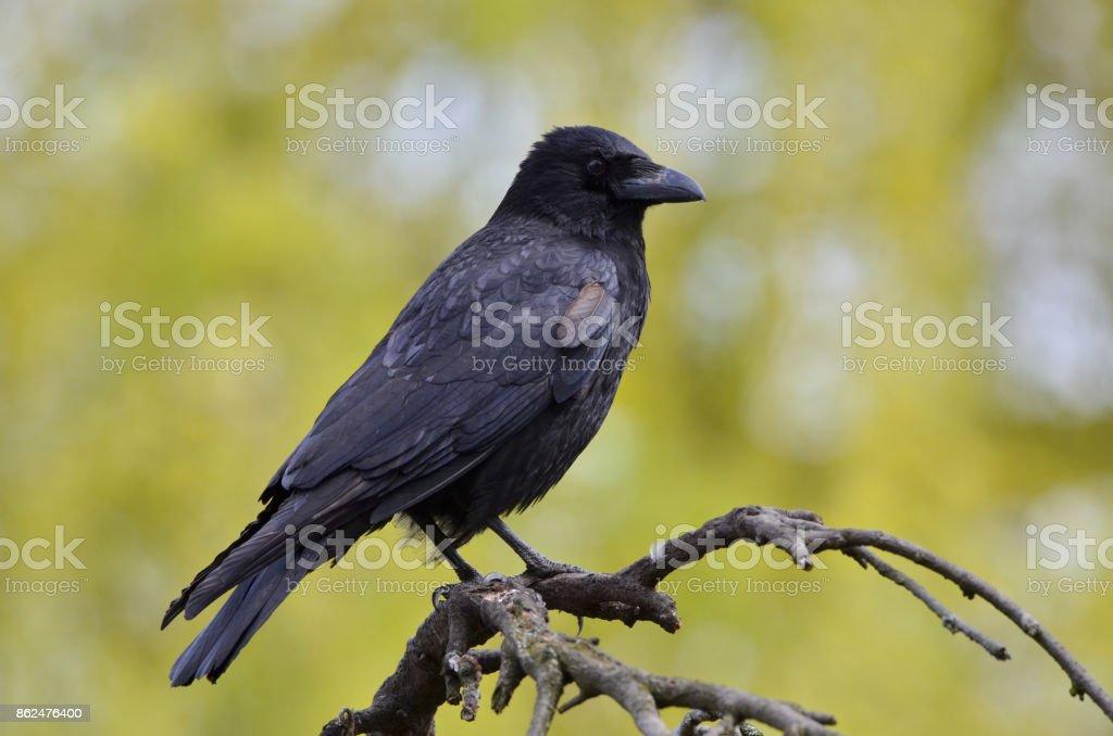 Black crow, Corvus corone, common crow stock photo