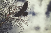 Black crow flying over the branches on a cloudy grey day in winter