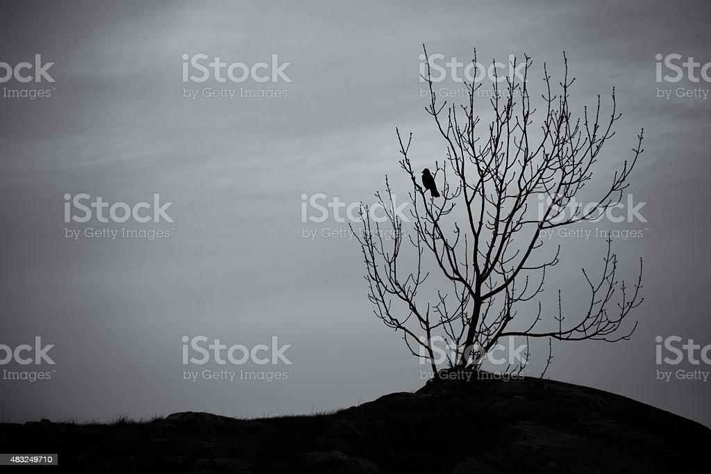 Black crow in a tree stock photo