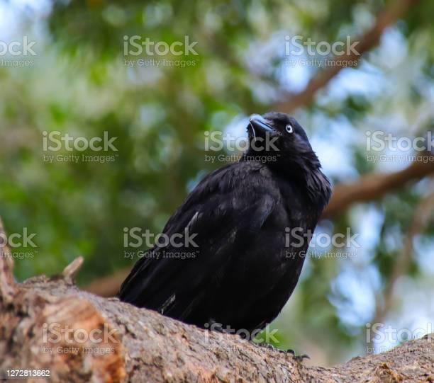 Photo of Black crow sitting on a tree in a Sydney backyard