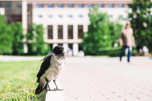 Black crow walks on border near gray sidewalk on background of city building in bokeh with copy space. Raven on pavement near green grass. Wild bird on asphalt close up. Predatory animal of city.