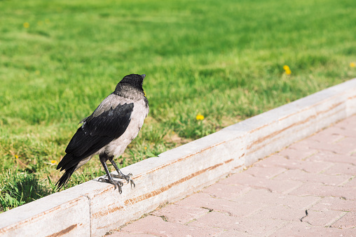 Black crow walks on border near gray sidewalk on background of green grass with copy space. Raven on pavement. Wild bird on asphalt. Predatory animal of city fauna. Plumage of bird is close up.