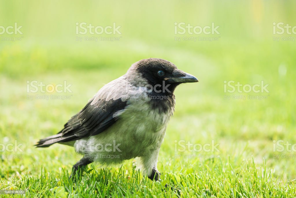 Black crow walks on green lawn with copy space. Raven on grass. Wild...