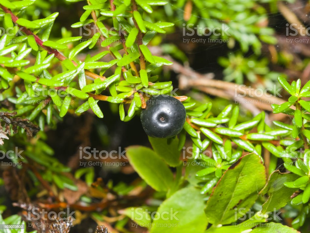 Black crowberry, Empetrum nigrum, berry on branch with needle-like leaves, close-up, selective focus, shallow DOF stock photo