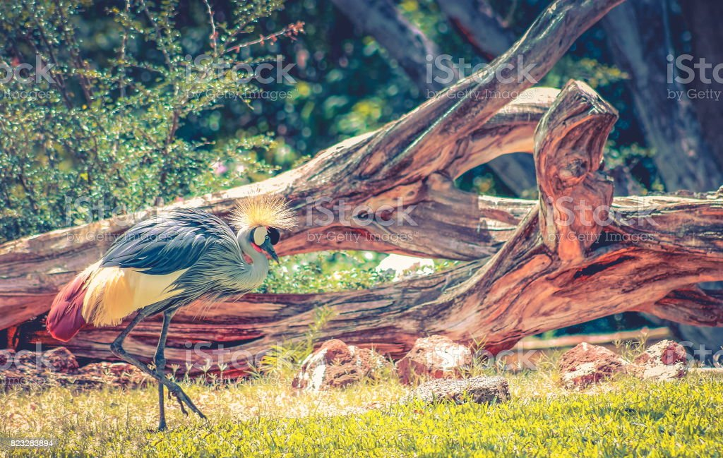 Black crowned crane (Balearica pavonina) stock photo