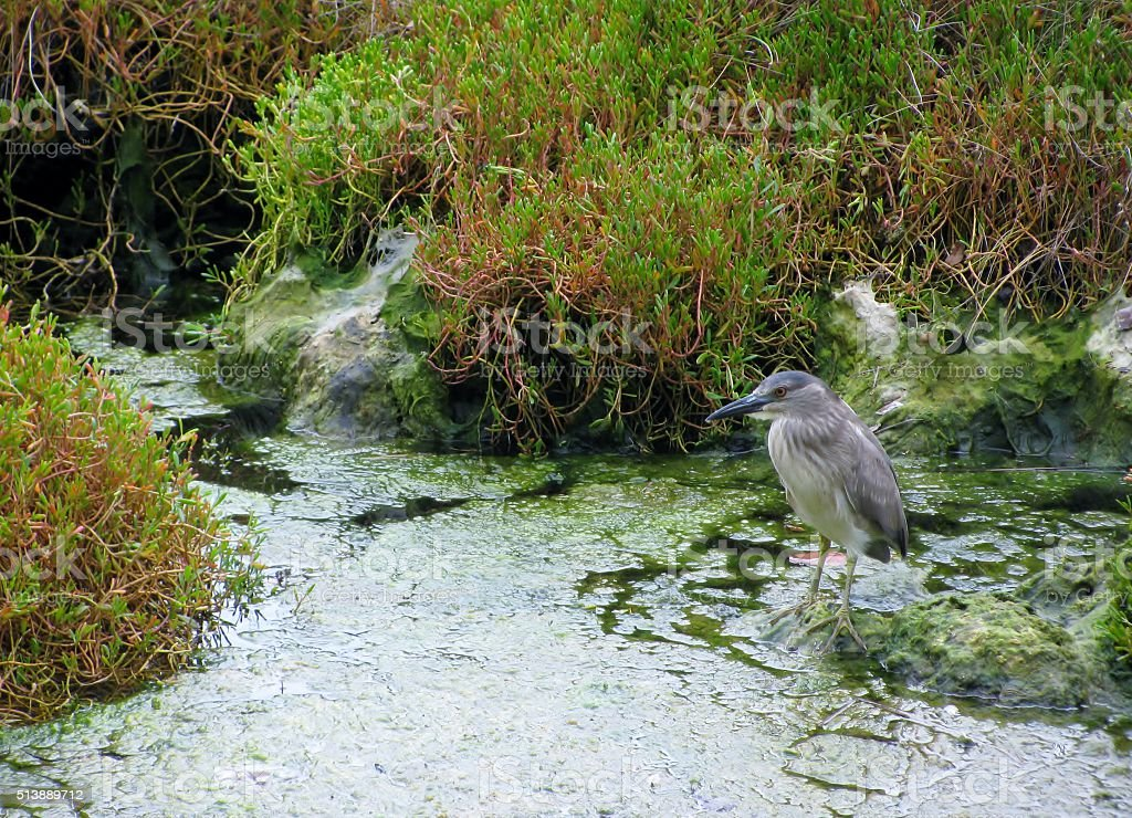 Black crowned night heron in the swamp stock photo