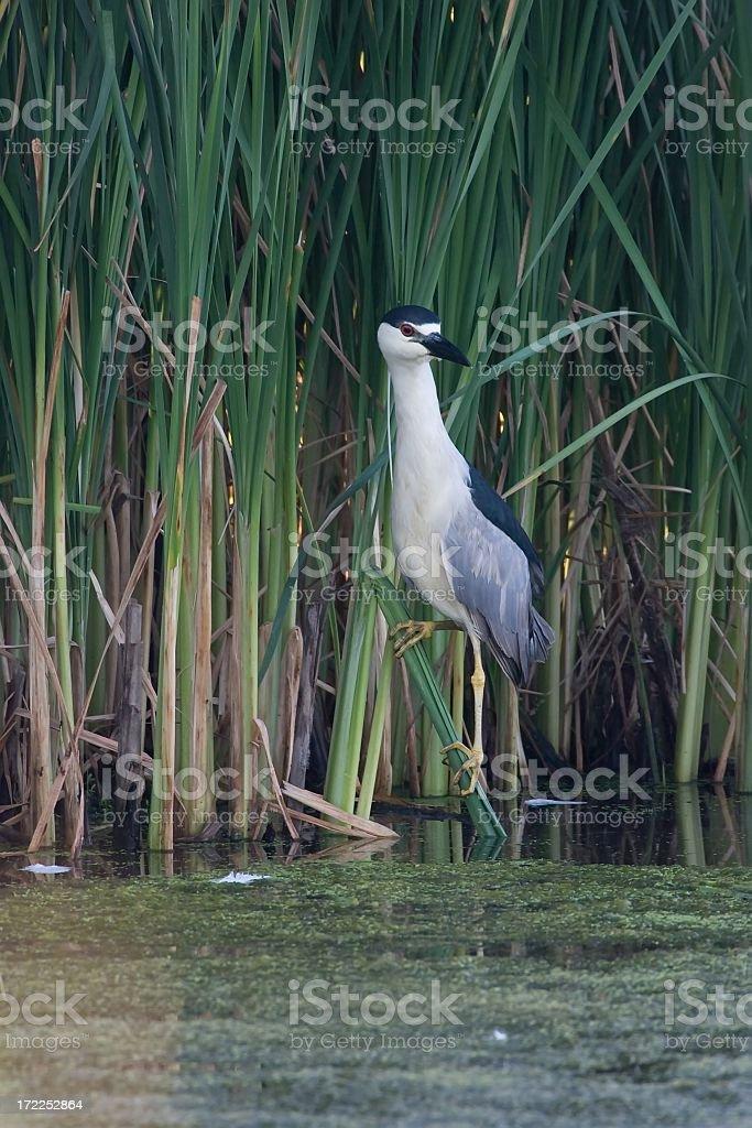 Black crowned night heron royalty-free stock photo