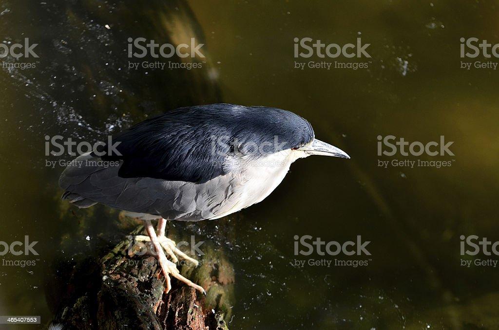 Black - crowned night heron royalty-free stock photo