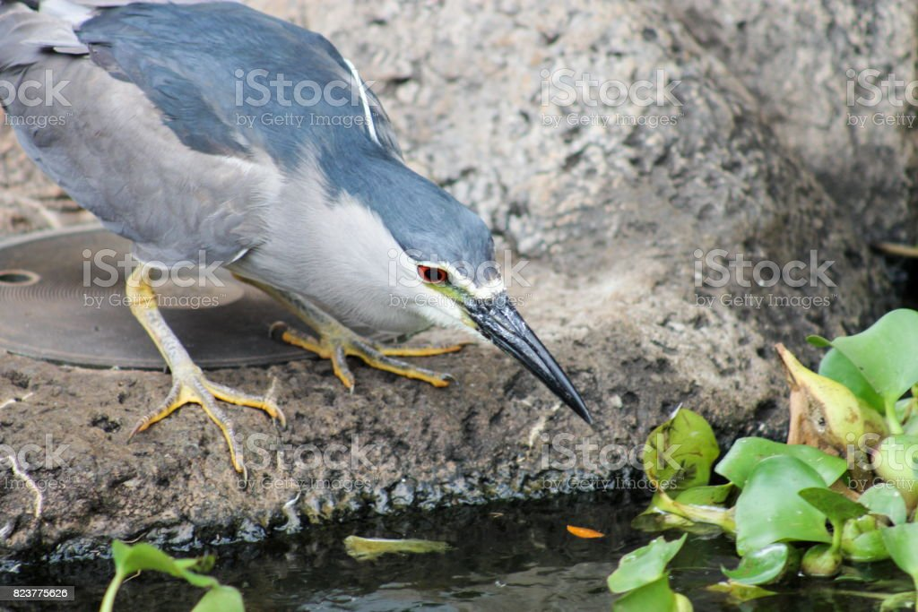 Black Crowned Night Heron (Nycticorax nycticoras) stock photo