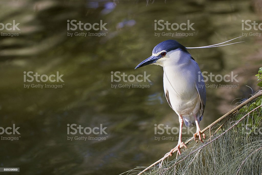 Black crowned night heron watching for fish royalty-free stock photo