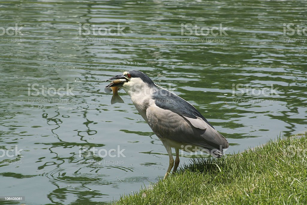 Black Crowned Night Heron with fish royalty-free stock photo