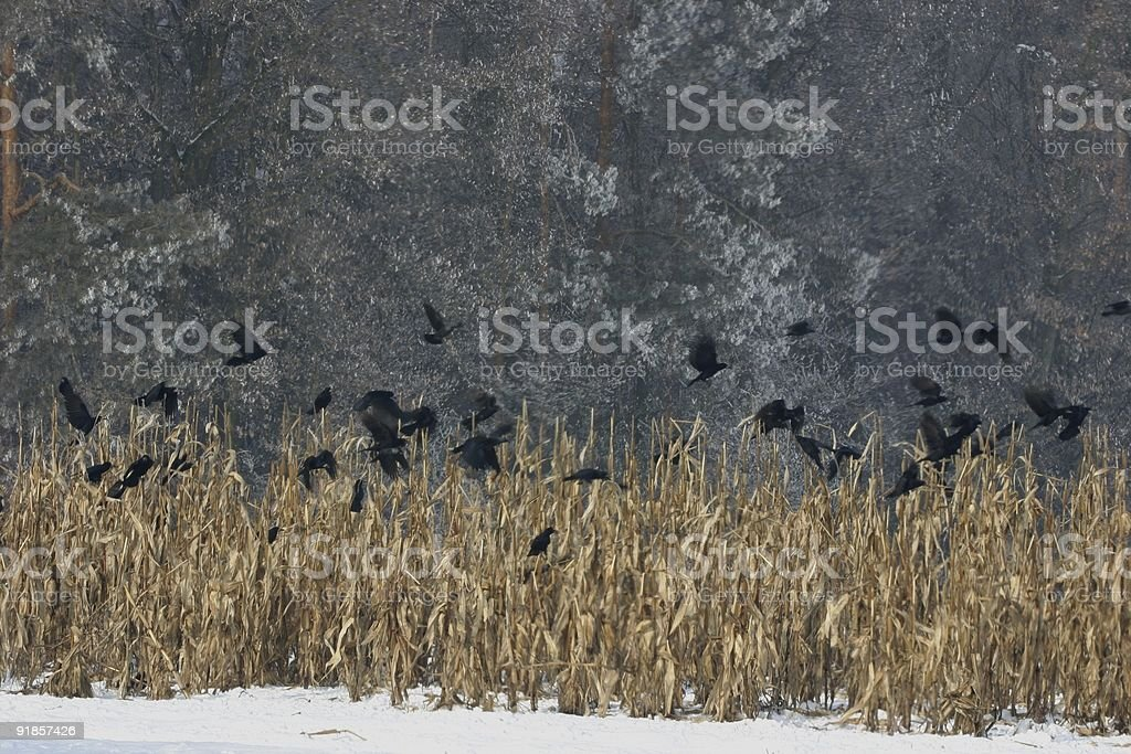 black crows in winter royalty-free stock photo