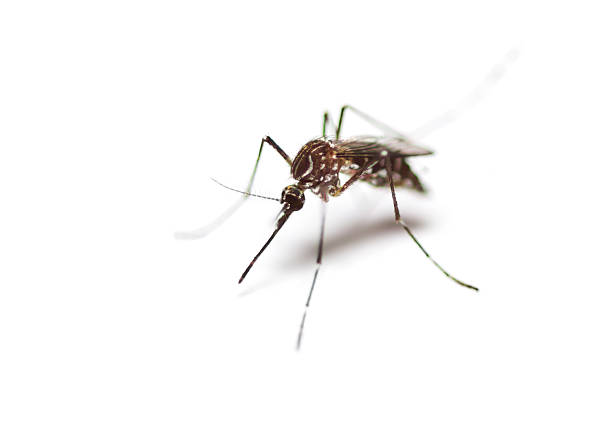 black culex mosquito - mosquito stock photos and pictures