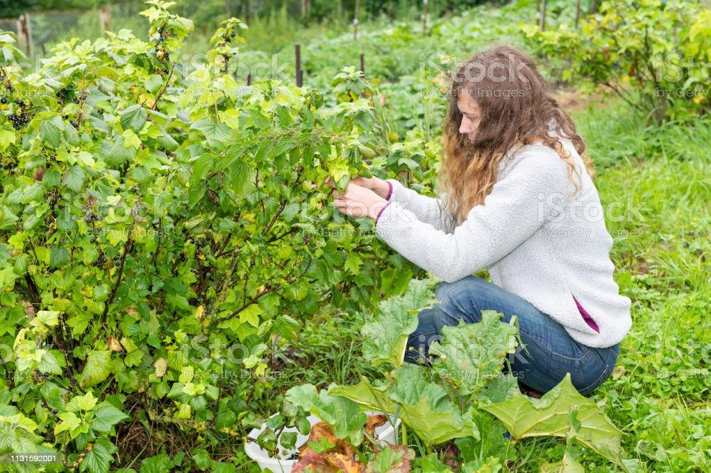 Photo Libre De Droit De Baies De Cassis Sur Larbuste De Buisson De