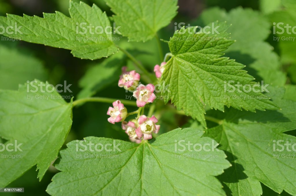 black currant blooms in the garden stock photo