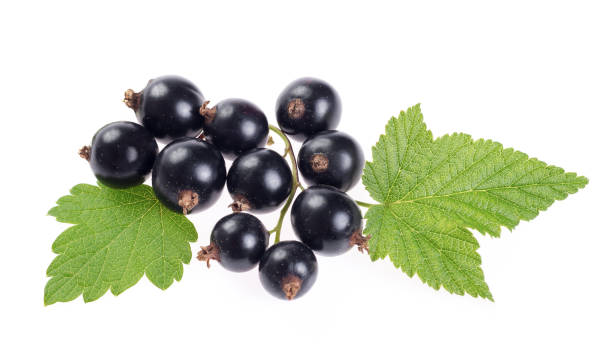 black currant branch isolated on white stock photo