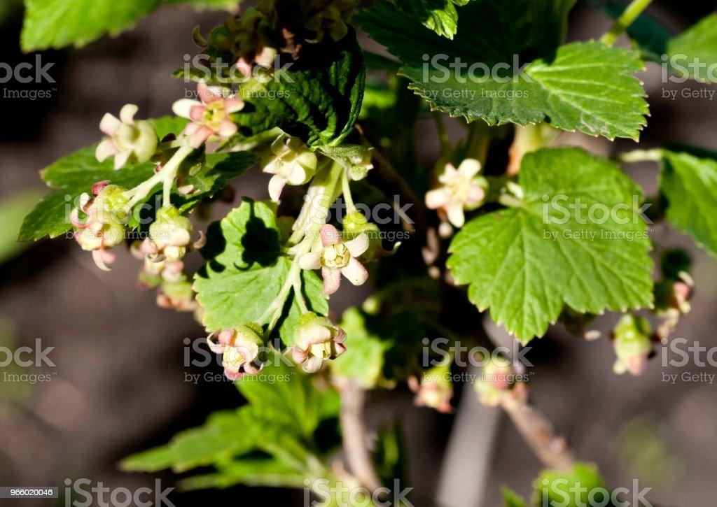 Zwarte bessen bloemen sluiten - omhoog, zichtbaar meeldraden en stampers - Royalty-free April Stockfoto