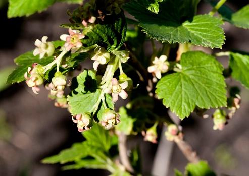 Zwarte Bessen Bloemen Sluiten Omhoog Zichtbaar Meeldraden En Stampers Stockfoto en meer beelden van April