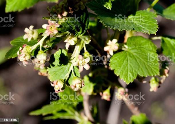 Black Currant Flowers Close Up Visible Stamens And Pistils - Fotografias de stock e mais imagens de Abril