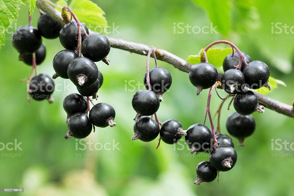 black currant on a branch, macro stock photo