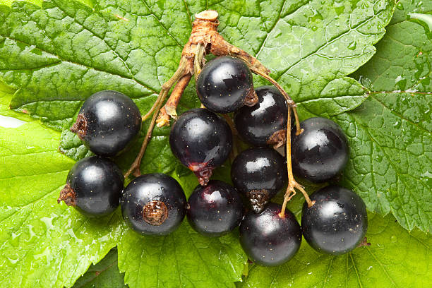 Black currant on green leaves stock photo
