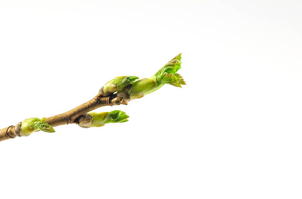 Black currant twig with sprouts stock photo