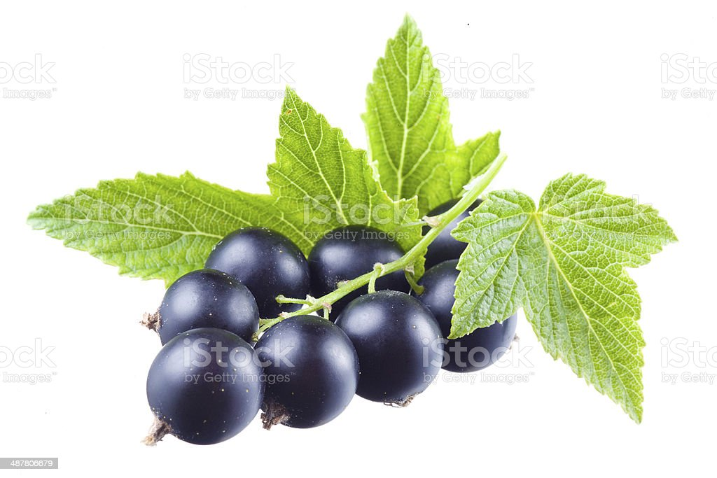 Black currant with leaves stock photo