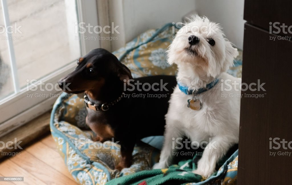 Black dachshund and west highland white terrier royalty-free stock photo