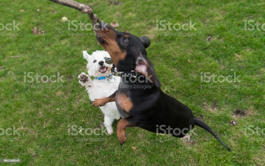 Black dachshund and west highland white terrier foto de stock royalty-free