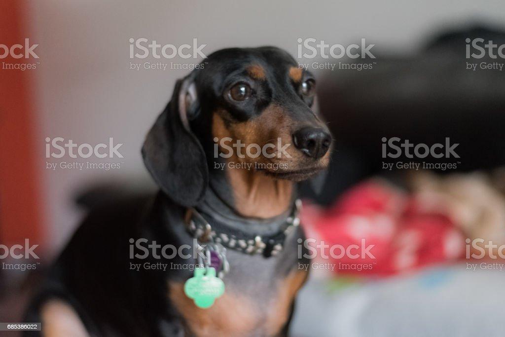 Black dachshund royalty-free stock photo