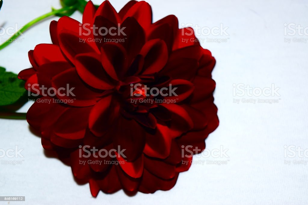 Black Dahlia enlarged with enhanced color flower bloom stock photo