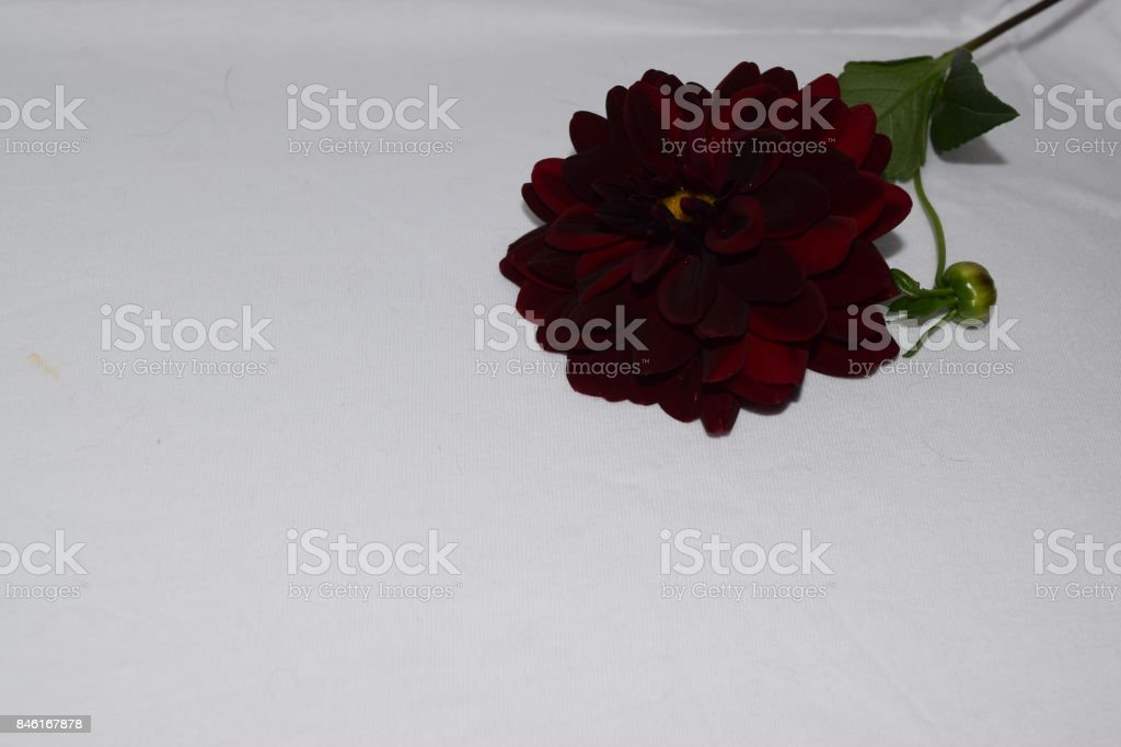 Black Dahlia Flower Bloom real color with White background stock photo