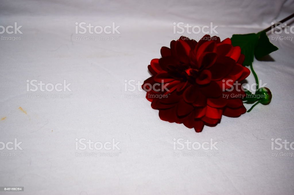 Black Dahlia Flower Bloom with enhanced color stock photo