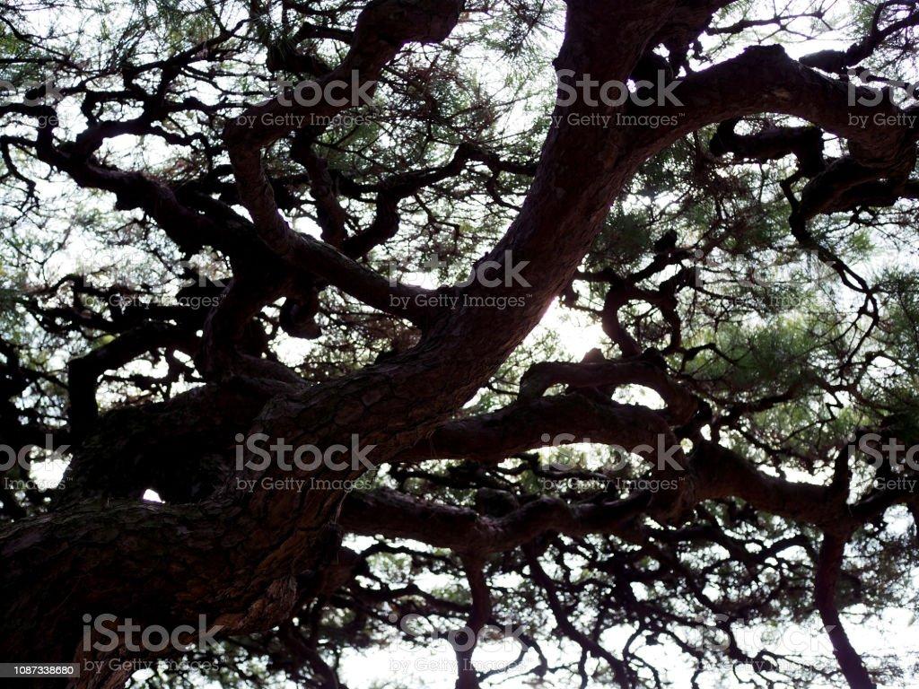 Silueta oscura negra sombra de sombra de pino japonés bonsai grande - foto de stock