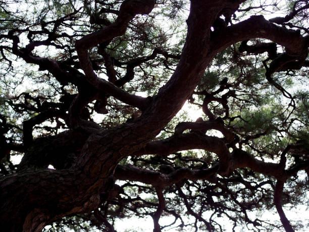 Black dark silhouette Japanese big bonsai pine shade shadow stock photo