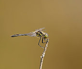 The black darter is a dragonfly found in northern Europe, Asia, and North America. At about 30 mm long, it is Britain's smallest resident dragonfly. It is a very active late summer insect typical of heathland and moorland bog pools.